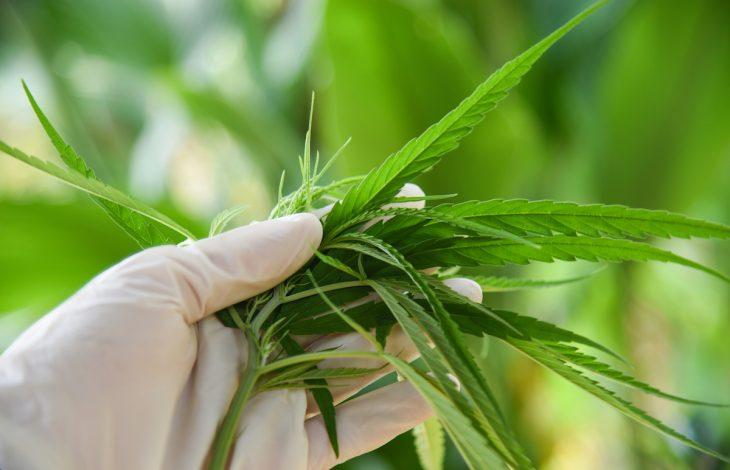 Pacjenci z endometriozą zgłaszają subiektywne korzyści ze stosowania marihuany
