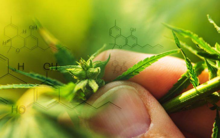 Fitokannabinoidy