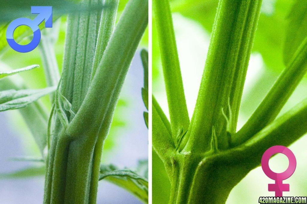 Zalążki kwiatów konopi indyjskich – rozpznaj płeć 3-6-tygodniowej rośliny